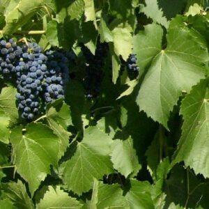 Виноград Бако