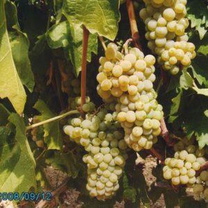 Виноград Буковинка