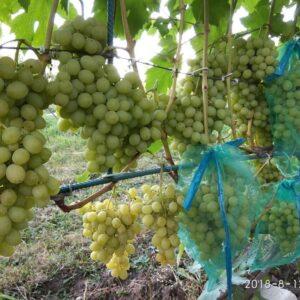 Виноград Ладанний 2