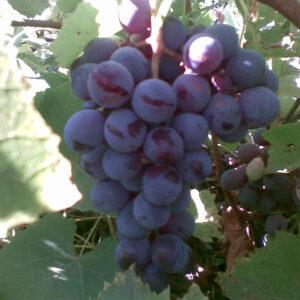 Виноград Лідія
