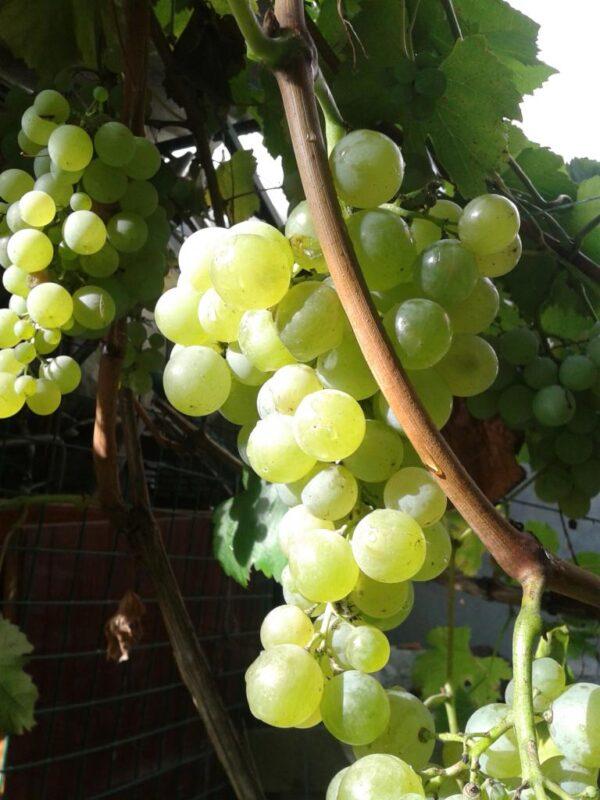 Виноград Сученський білий