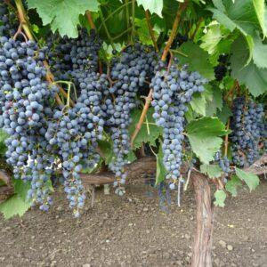 Виноград Фронтіньяк Грі
