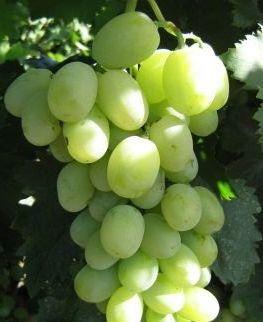 Виноград Адлер
