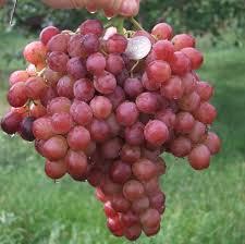 Виноград 887-супер