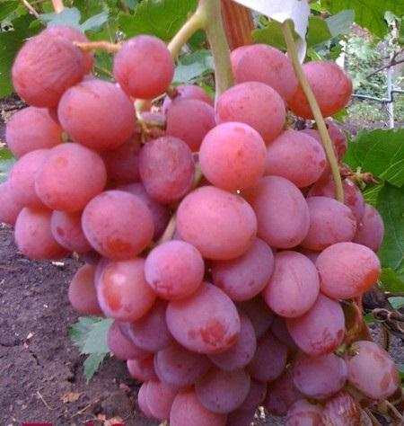 Виноград Z-10